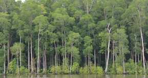 Life-Preserving Mangroves in Papua